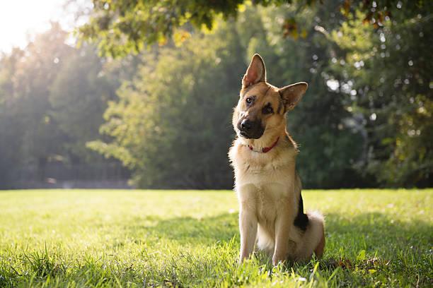 Vedlikehold  av  Schæferhund